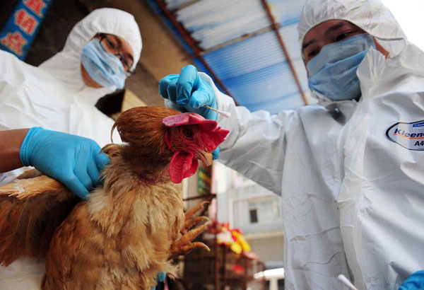 蛋鸡禽流感的症状及治疗方案