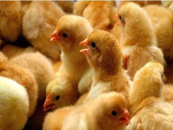 小雏鸡管理需要注意的事项!