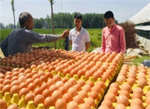 新的养殖形势下蛋鸡养殖户如何让规避养殖风险